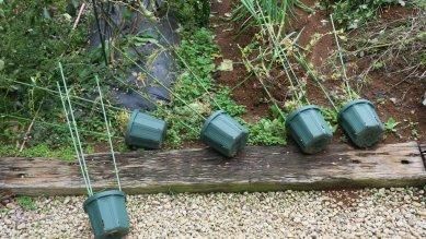 台風で皆倒れた朝顔の鉢