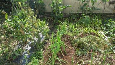 葱・里芋以外収穫終了