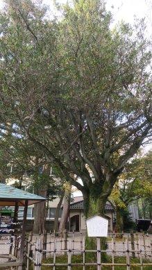 蚊母樹at尾山神社