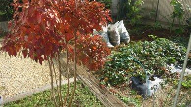 庭のヒメシャラの紅葉