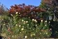 29秋紅葉とバラ