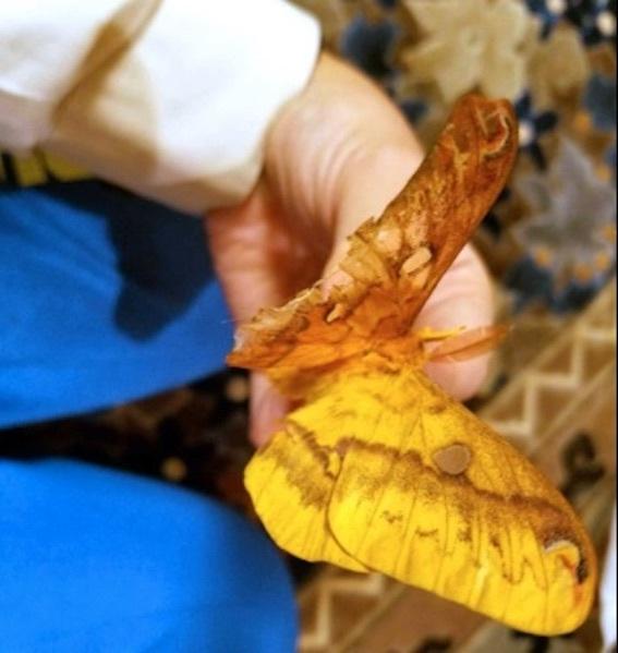 オスメスの蛾 写真