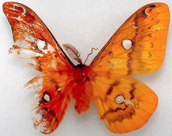 オスメス蛾の標本写真