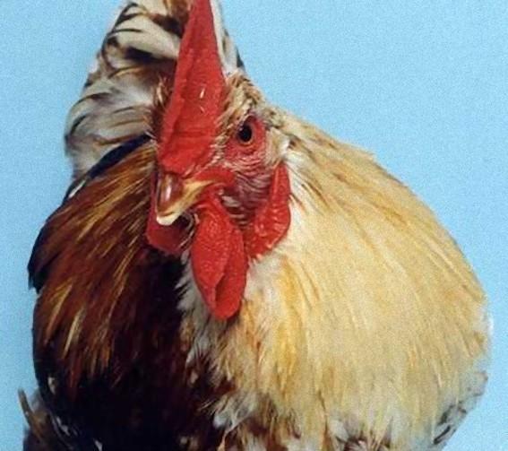 雌雄モザイク鳥
