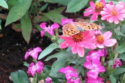 ジニアにヒョウモン蝶の仲間_1