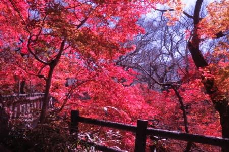 白兎橋の紅葉d_1