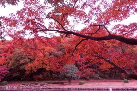 大池公園紅葉b_1