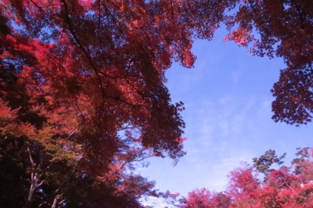 青空に映えるもみじ紅葉c_1