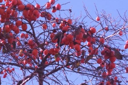 柿の木が1本a_1