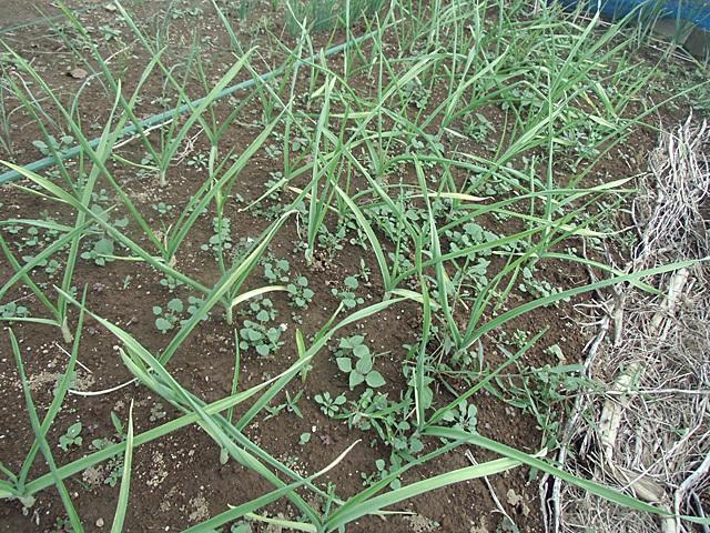 ニンニクの雑草