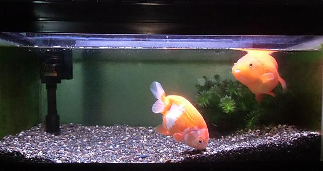 元気な金魚