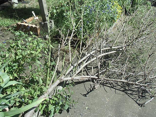 台風で倒れたバラ