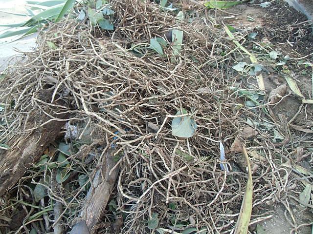 掘りあげたドクダミの根