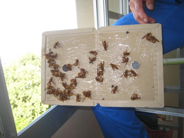 戻りバチの処理で捕獲したスズメバチです