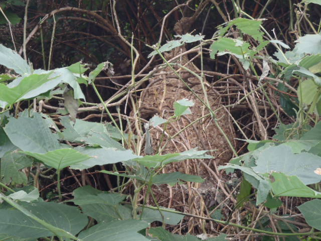 草むらの中にできたスズメバチに巣