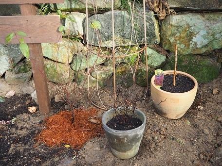 とりあえず鉢植え