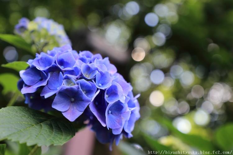 紫陽花-SN