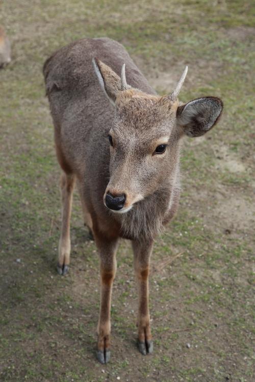 奈良公園の鹿-S