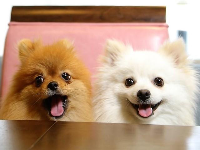 20170520ポンころモデル犬⑧