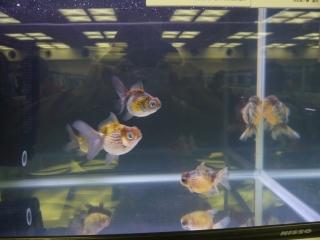 20100410_日本観賞魚フェア_0123
