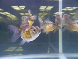 20100410_日本観賞魚フェア_0125