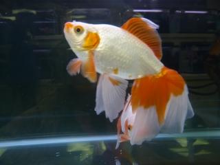 20100410_日本観賞魚フェア_0212
