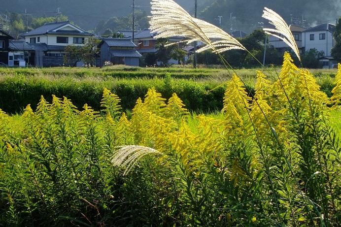 p6953547セイタカアワダチソウ(篠山市)