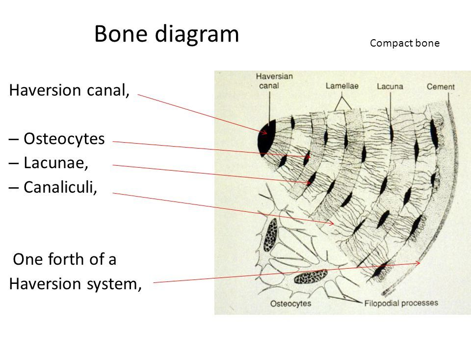 Bone_diagram_Haversion_canal,_Osteocytes_Lacunae,_Canaliculi,