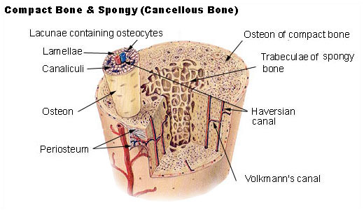 Illu_compact_spongy_bone.jpg