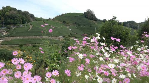 石寺の茶畑