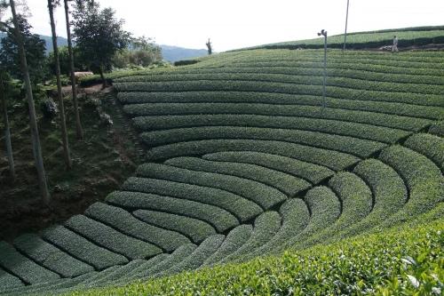 原山円形茶畑