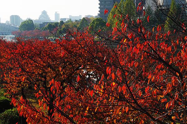 桜ノ宮の紅葉と大阪城