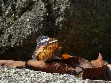 ツマグロヒョウモン ♀ 1