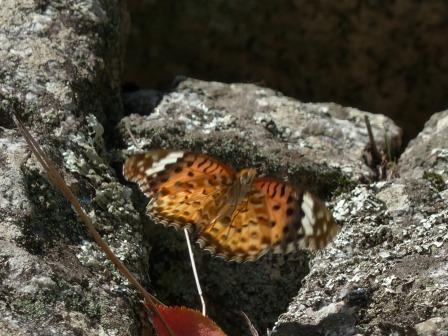 ツマグロヒョウモン ♀ 2