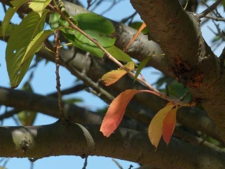 少し紅葉 桜 2
