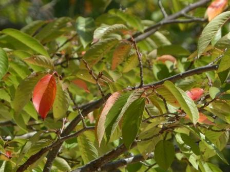 少し紅葉 桜 3