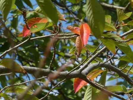 少し紅葉 桜 4
