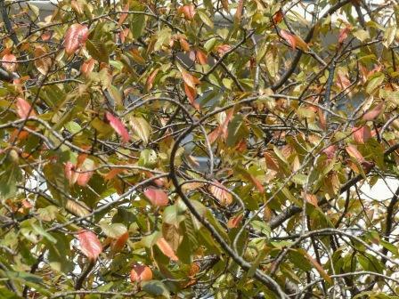 少し紅葉した桜 1