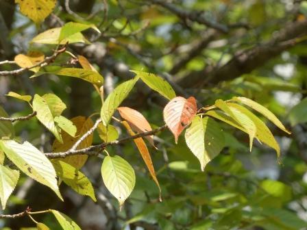 少し紅葉した桜 2