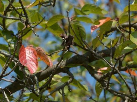 少し紅葉した桜 3