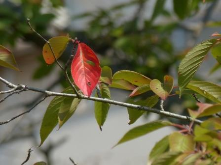 少し紅葉した桜 6