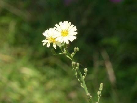 キク科の花 2