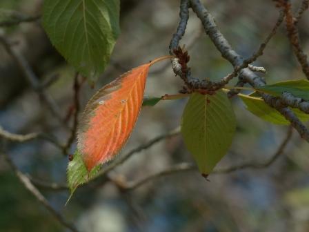 少し紅葉した桜 5