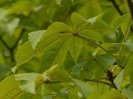 トチノキ 少し黄葉 3