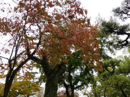ハナミズキ の紅葉 1