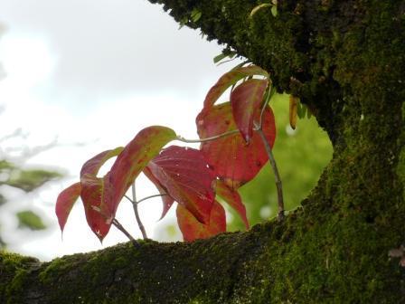 ハナミズキ の紅葉 4
