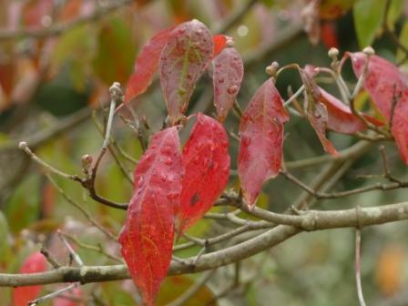 ハナミズキ の紅葉 3