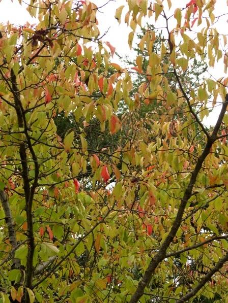 ヤマザクラ の紅葉 1