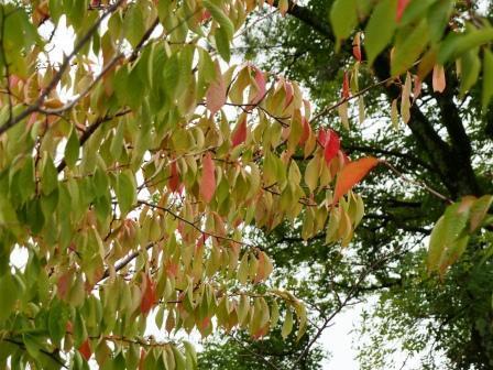 ヤマザクラ の紅葉 2