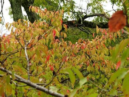 ヤマザクラ の紅葉 3